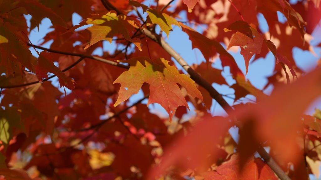 Red Maple Leaves and a Blue sky