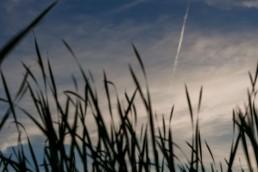 reeds on little lake