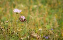 butterfly on poppy