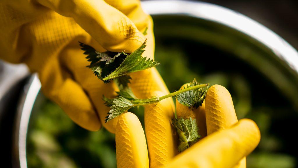 Stinging Nettle Sorting