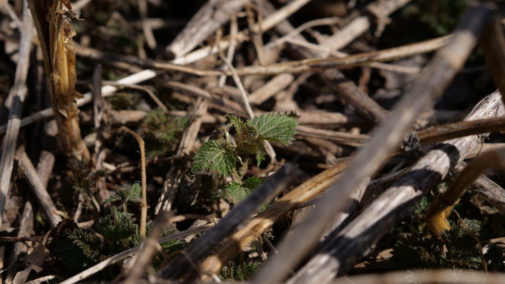 nettle in spring