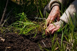 Dayna Planting Sweetgrass