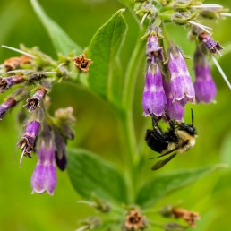 Comfrey and Bee