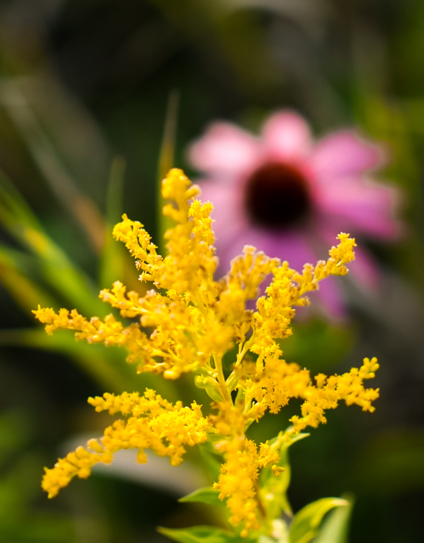 Goldenrod with Echinacea